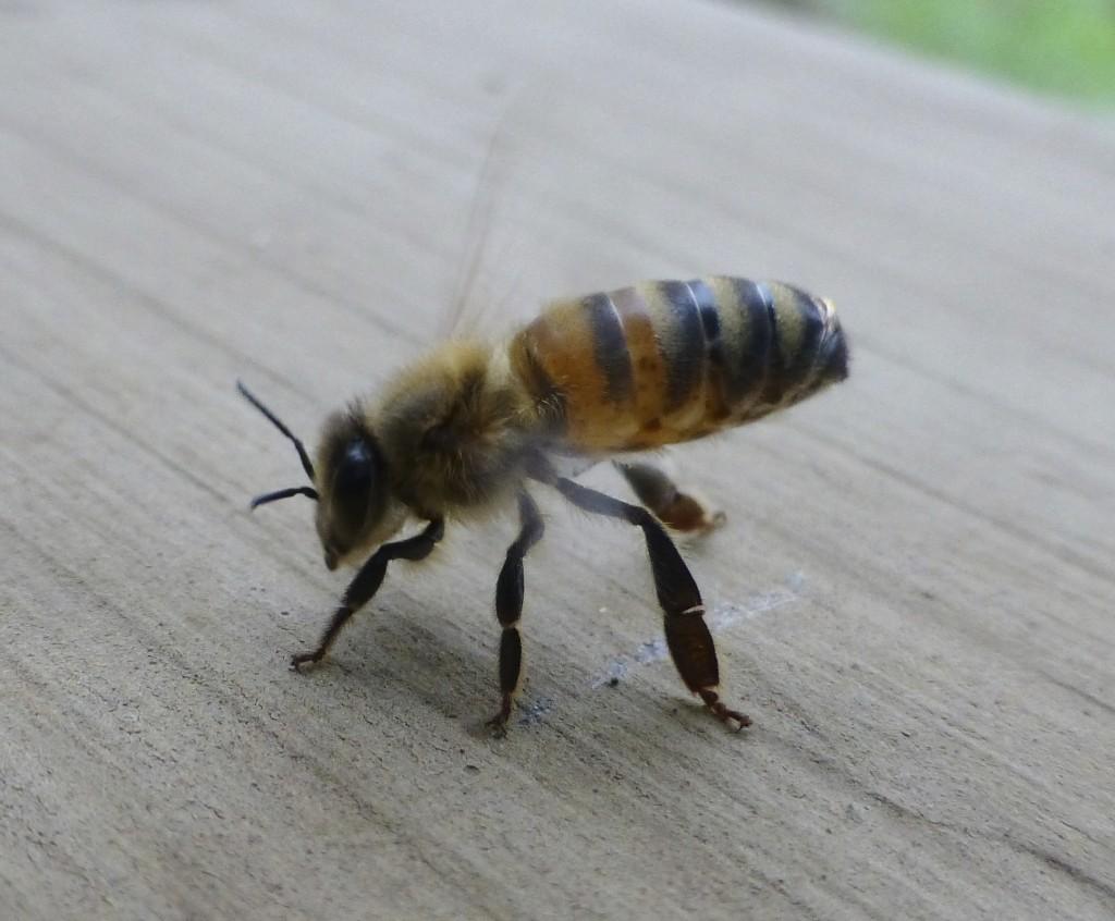 Abeille en position de rappel (abdomen en l'air, dernier segment abaissé et battement d'ailes).
